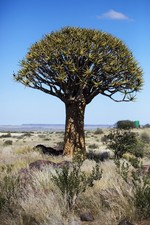 Namibia, quivertree